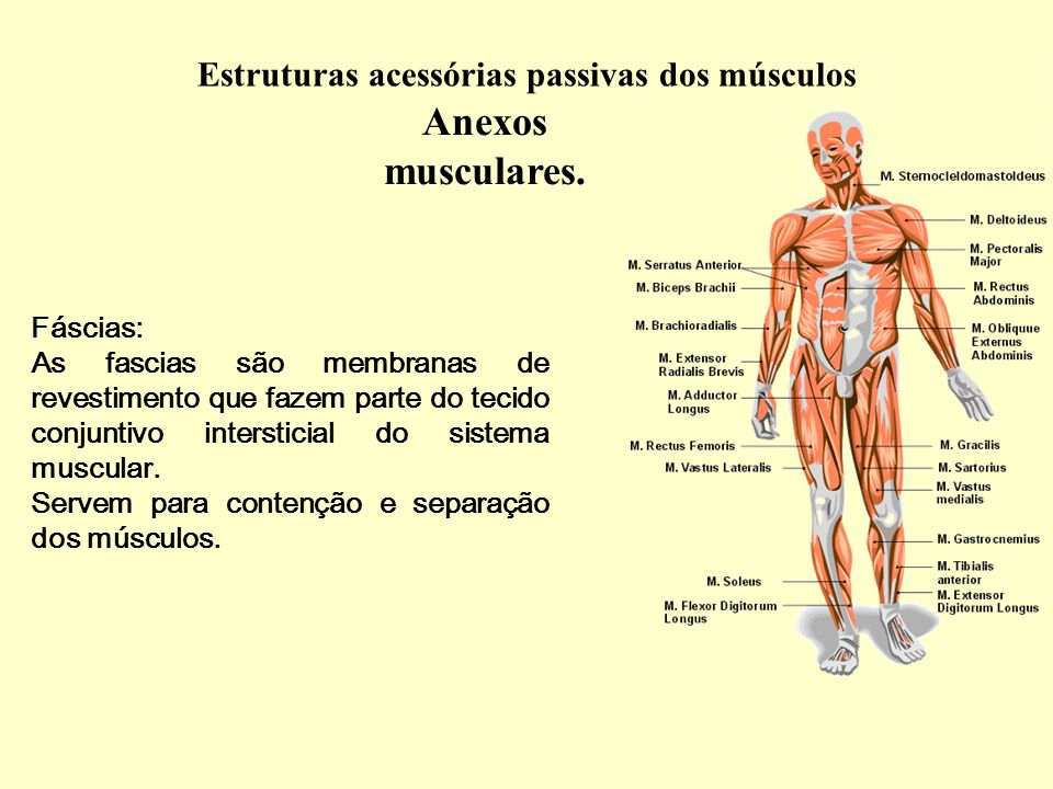 Anexos musculares.