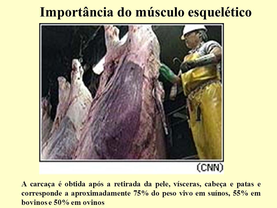 Importância do músculo esquelético A carcaça é obtida após a retirada da pele, vísceras, cabeça e patas e corresponde a aproximadamente 75% do peso vivo em suínos, 55% em bovinos e 50% em ovinos
