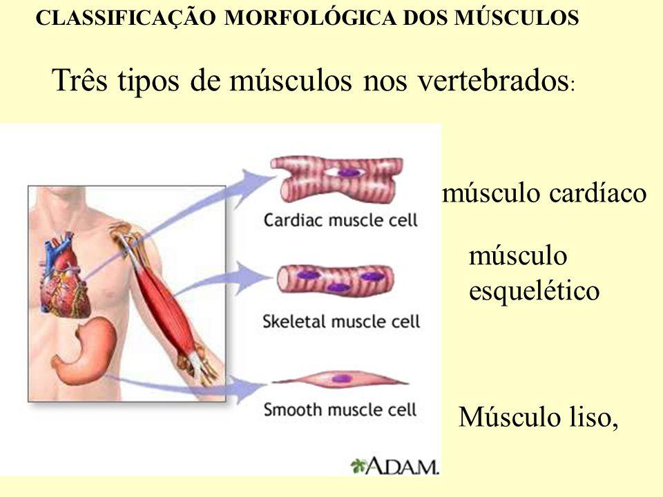 Inervação da fibra muscular esquelética.Exemplos.