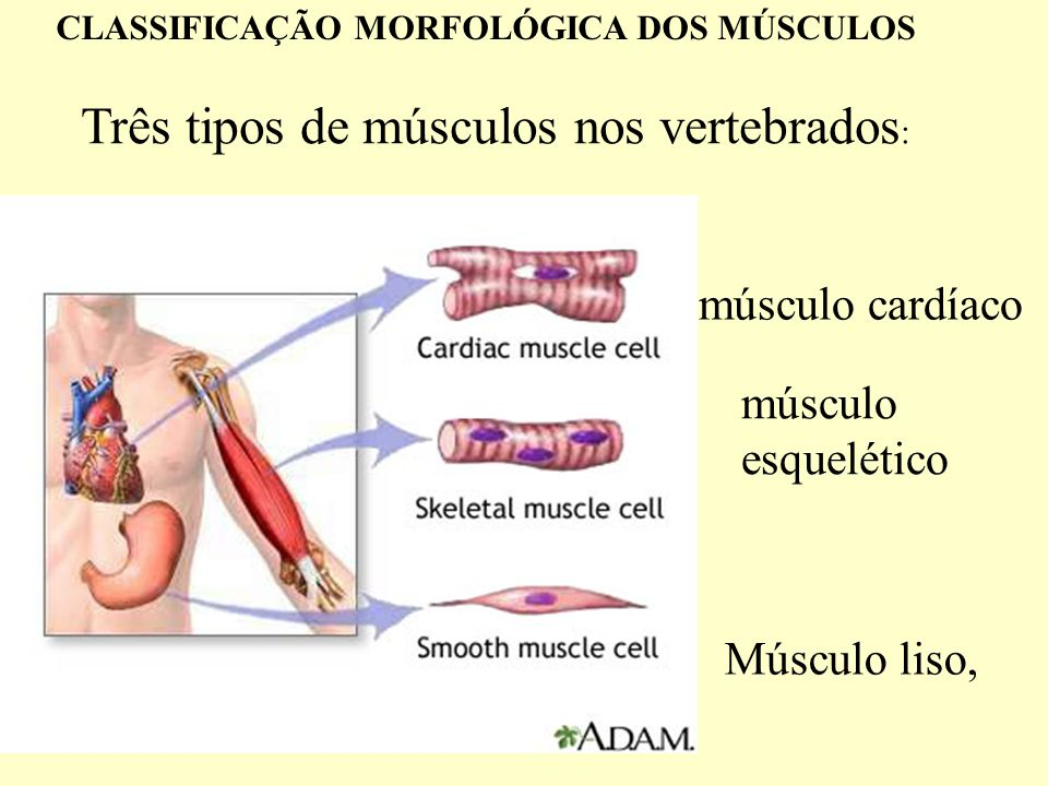 Três tipos de músculos nos vertebrados : Músculo liso, músculo cardíaco músculo esquelético CLASSIFICAÇÃO MORFOLÓGICA DOS MÚSCULOS