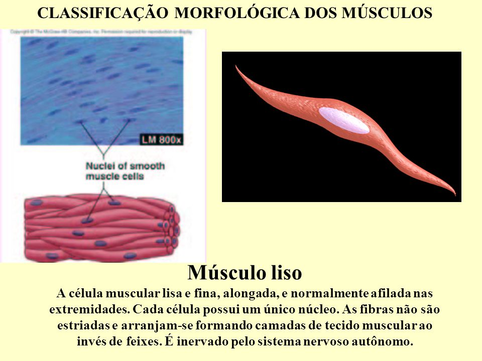 Músculo liso A célula muscular lisa e fina, alongada, e normalmente afilada nas extremidades.