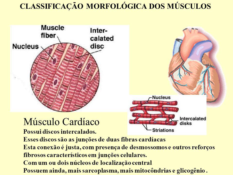 Músculo Cardíaco Possui discos intercalados.