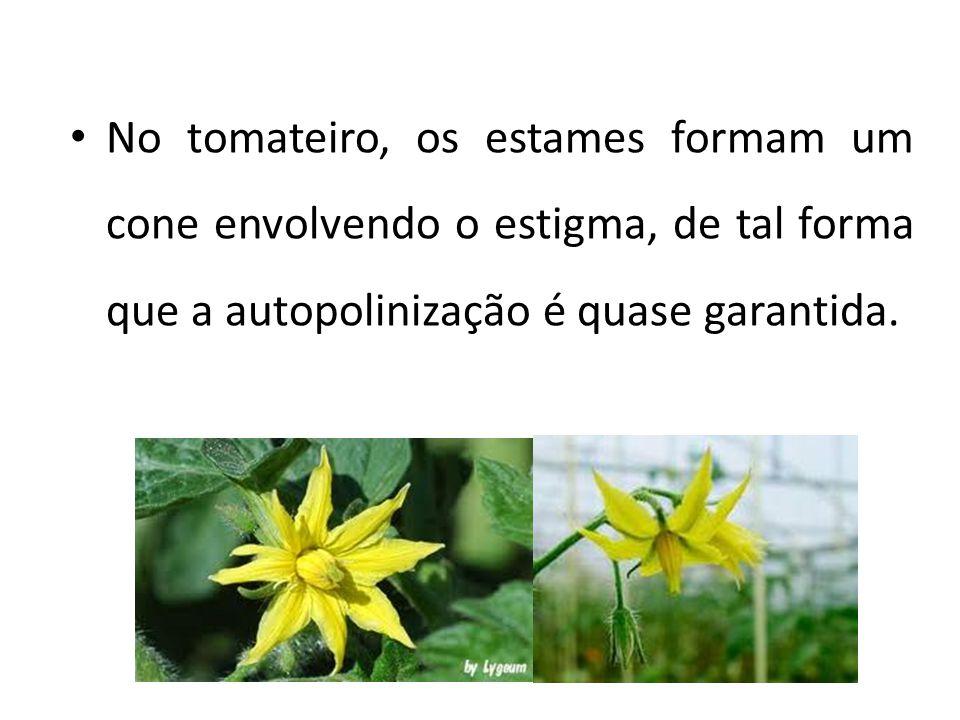 No tomateiro, os estames formam um cone envolvendo o estigma, de tal forma que a autopolinização é quase garantida.