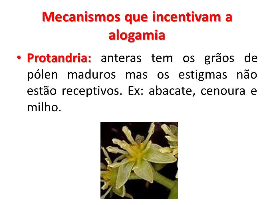 Mecanismos que incentivam a alogamia Protandria: Protandria: anteras tem os grãos de pólen maduros mas os estigmas não estão receptivos. Ex: abacate,