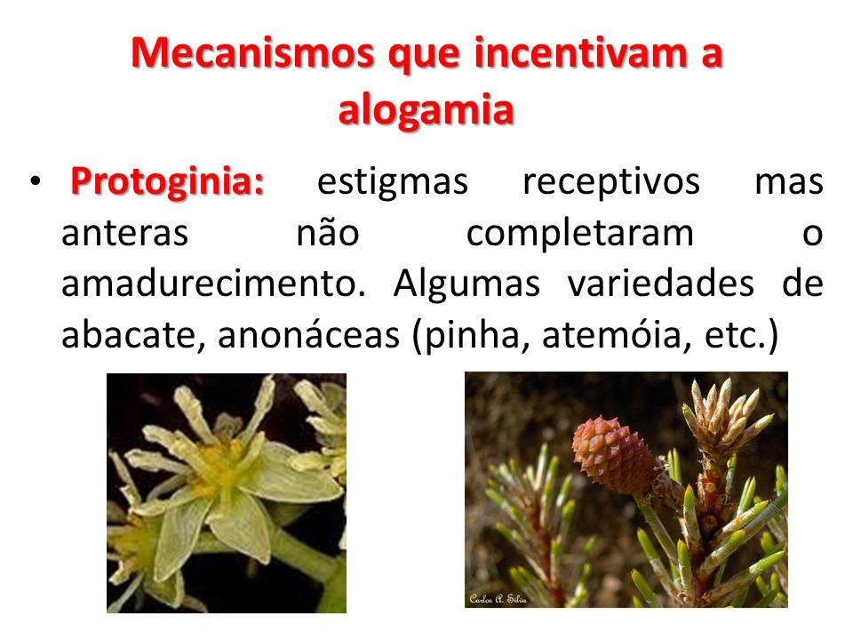 Mecanismos que incentivam a alogamia Protoginia: Protoginia: estigmas receptivos mas anteras não completaram o amadurecimento. Algumas variedades de a
