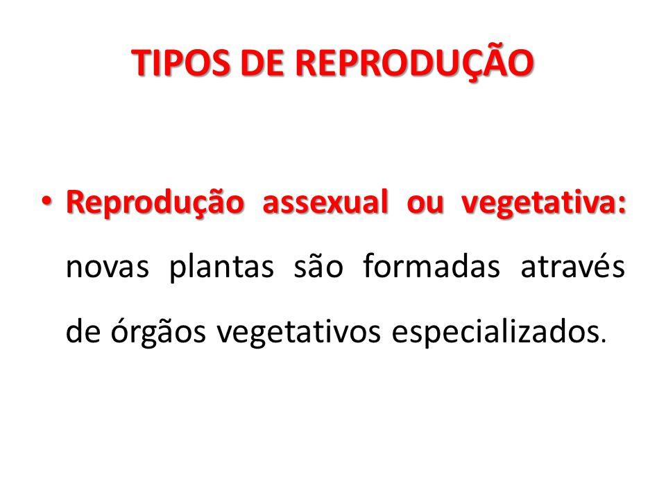 TIPOS DE REPRODUÇÃO Reprodução assexual ou vegetativa: Reprodução assexual ou vegetativa: novas plantas são formadas através de órgãos vegetativos esp
