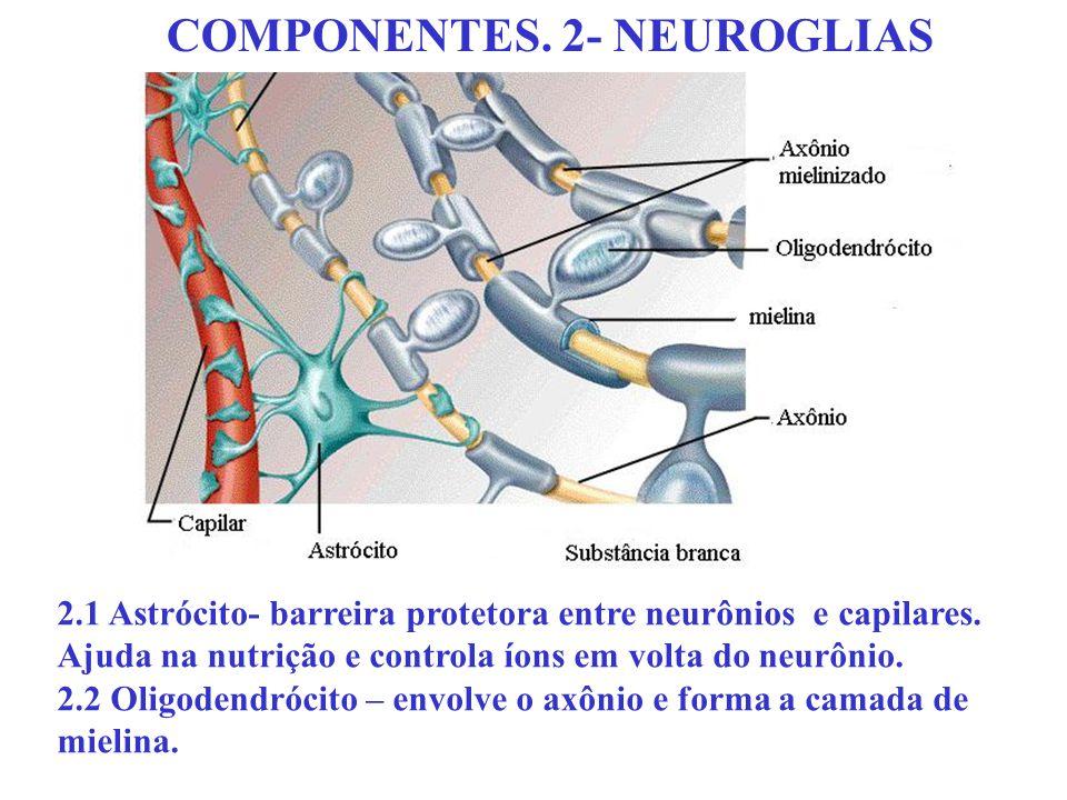 COMPONENTES. 2- NEUROGLIAS 2.1 Astrócito- barreira protetora entre neurônios e capilares. Ajuda na nutrição e controla íons em volta do neurônio. 2.2