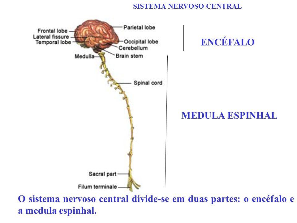 SISTEMA NERVOSO CENTRAL O sistema nervoso central divide-se em duas partes: o encéfalo e a medula espinhal. ENCÉFALO MEDULA ESPINHAL