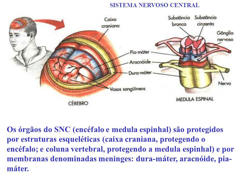 SISTEMA NERVOSO CENTRAL Os órgãos do SNC (encéfalo e medula espinhal) são protegidos por estruturas esqueléticas (caixa craniana, protegendo o encéfal