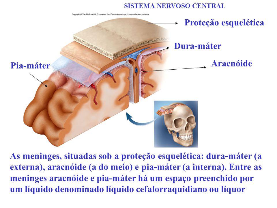 SISTEMA NERVOSO CENTRAL As meninges, situadas sob a proteção esquelética: dura-máter (a externa), aracnóide (a do meio) e pia-máter (a interna). Entre