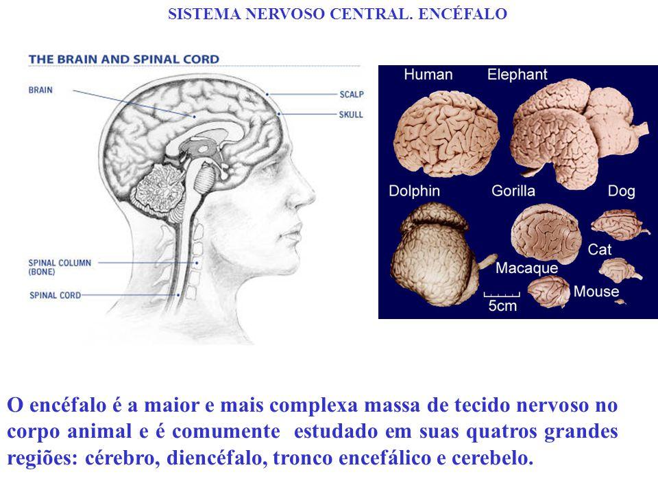 SISTEMA NERVOSO CENTRAL. ENCÉFALO O encéfalo é a maior e mais complexa massa de tecido nervoso no corpo animal e é comumente estudado em suas quatros