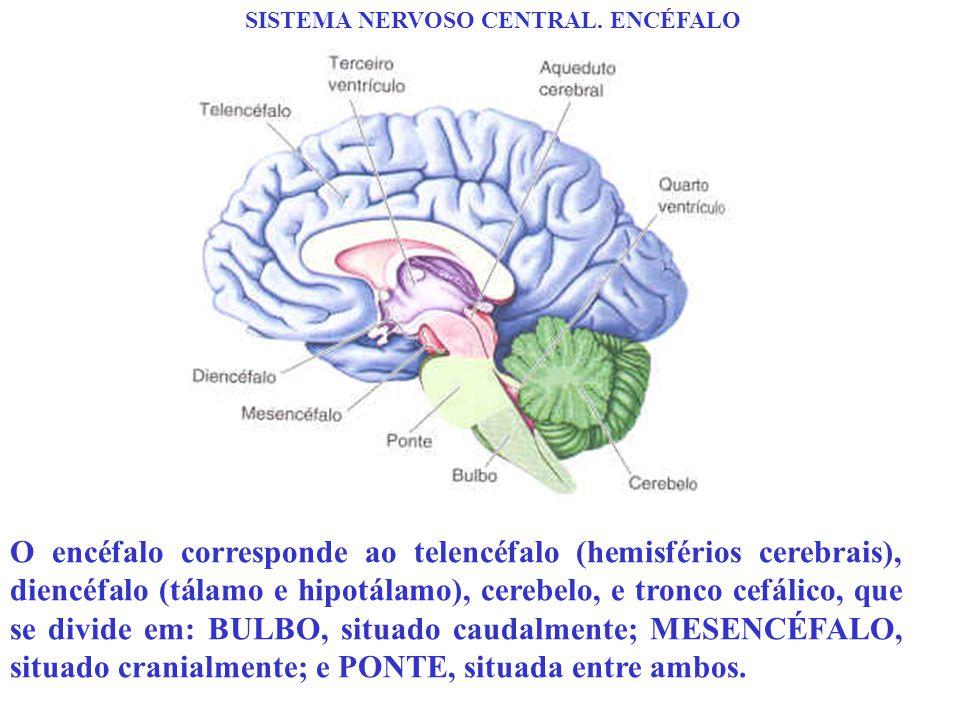 SISTEMA NERVOSO CENTRAL. ENCÉFALO O encéfalo corresponde ao telencéfalo (hemisférios cerebrais), diencéfalo (tálamo e hipotálamo), cerebelo, e tronco