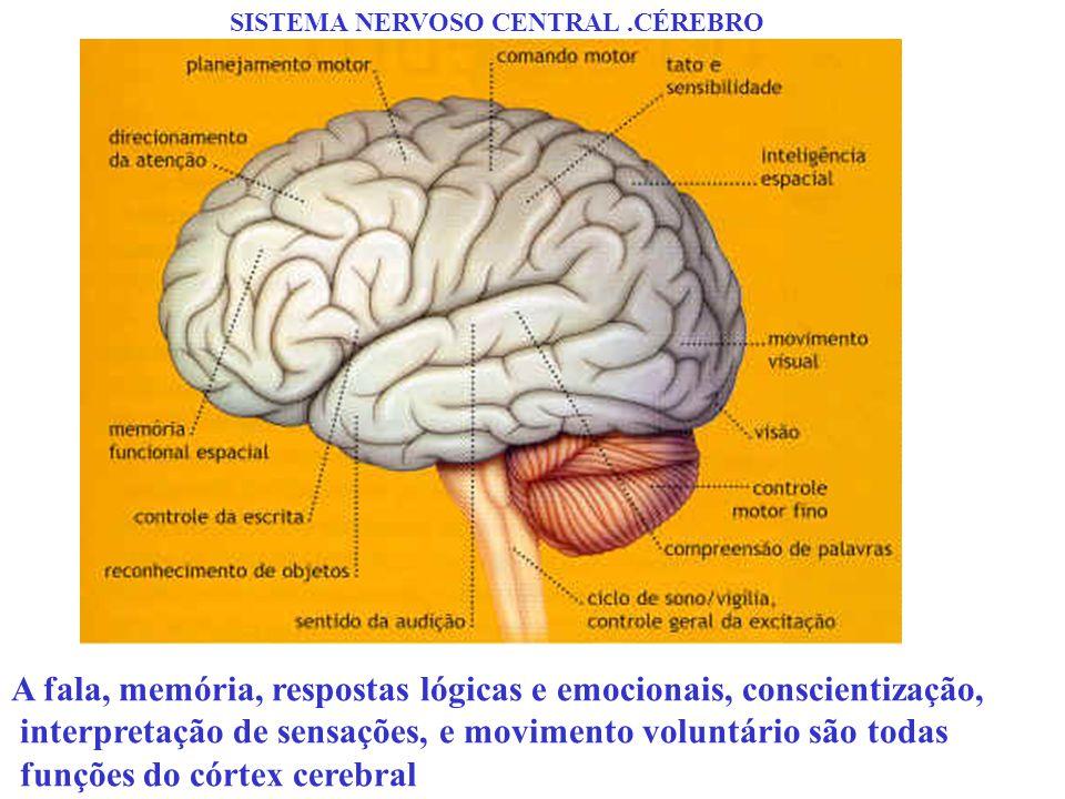 SISTEMA NERVOSO CENTRAL.CÉREBRO A fala, memória, respostas lógicas e emocionais, conscientização, interpretação de sensações, e movimento voluntário s