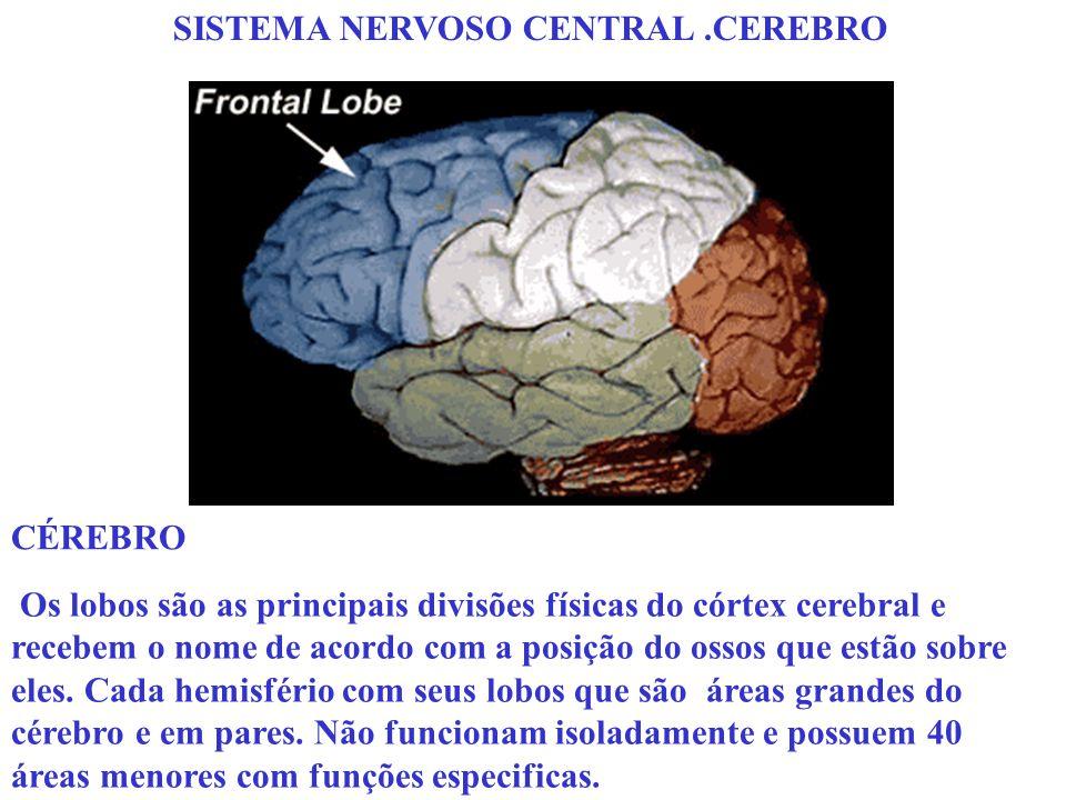 SISTEMA NERVOSO CENTRAL.CEREBRO Os lobos são as principais divisões físicas do córtex cerebral e recebem o nome de acordo com a posição do ossos que e