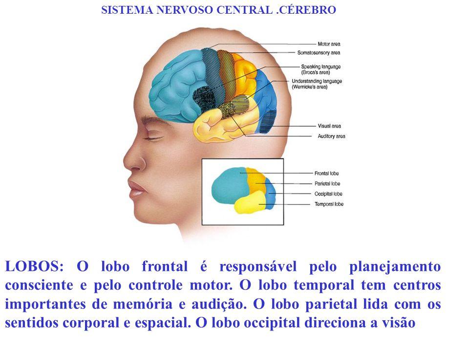 SISTEMA NERVOSO CENTRAL.CÉREBRO LOBOS: O lobo frontal é responsável pelo planejamento consciente e pelo controle motor. O lobo temporal tem centros im