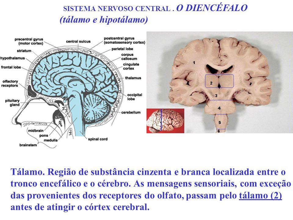 SISTEMA NERVOSO CENTRAL. O DIENCÉFALO (tálamo e hipotálamo) Tálamo. Região de substância cinzenta e branca localizada entre o tronco encefálico e o cé