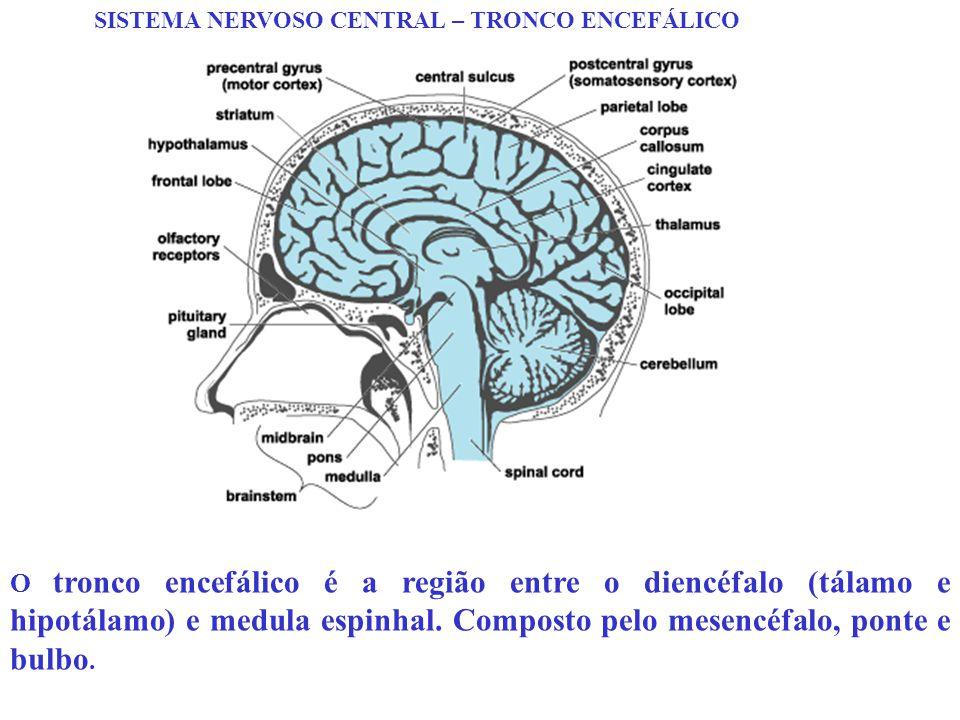 SISTEMA NERVOSO CENTRAL – TRONCO ENCEFÁLICO O tronco encefálico é a região entre o diencéfalo (tálamo e hipotálamo) e medula espinhal. Composto pelo m
