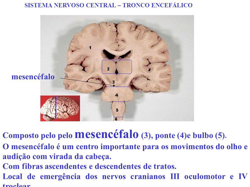 SISTEMA NERVOSO CENTRAL – TRONCO ENCEFÁLICO Composto pelo pelo mesencéfalo (3), ponte (4)e bulbo (5). O mesencéfalo é um centro importante para os mov