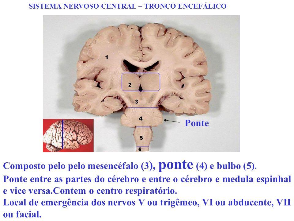 SISTEMA NERVOSO CENTRAL – TRONCO ENCEFÁLICO Composto pelo pelo mesencéfalo (3 ), ponte (4) e bulbo (5). Ponte entre as partes do cérebro e entre o cér