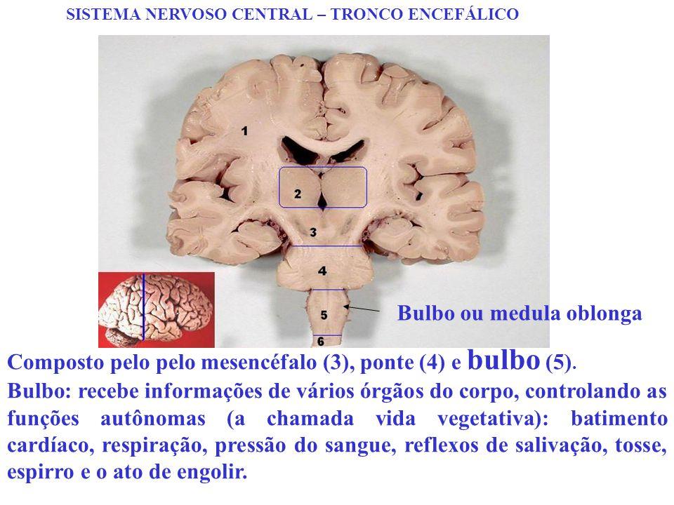 SISTEMA NERVOSO CENTRAL – TRONCO ENCEFÁLICO Composto pelo pelo mesencéfalo (3), ponte (4) e bulbo (5). Bulbo: recebe informações de vários órgãos do c