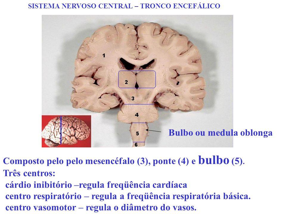 SISTEMA NERVOSO CENTRAL – TRONCO ENCEFÁLICO Composto pelo pelo mesencéfalo (3), ponte (4) e bulbo (5). Três centros: cárdio inibitório –regula freqüên