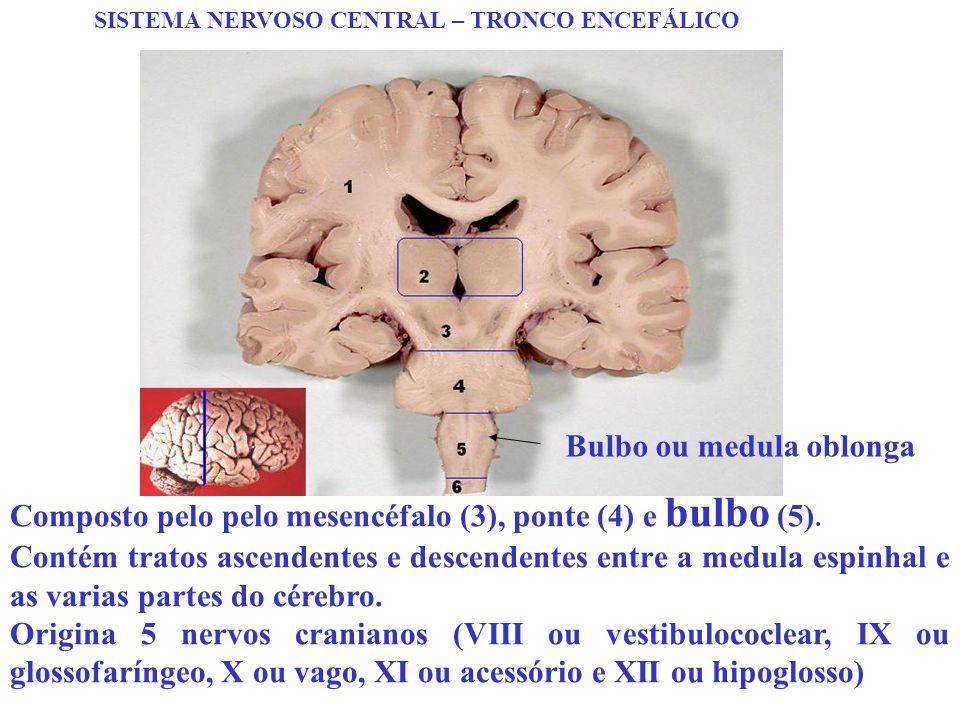 SISTEMA NERVOSO CENTRAL – TRONCO ENCEFÁLICO Composto pelo pelo mesencéfalo (3), ponte (4) e bulbo (5). Contém tratos ascendentes e descendentes entre