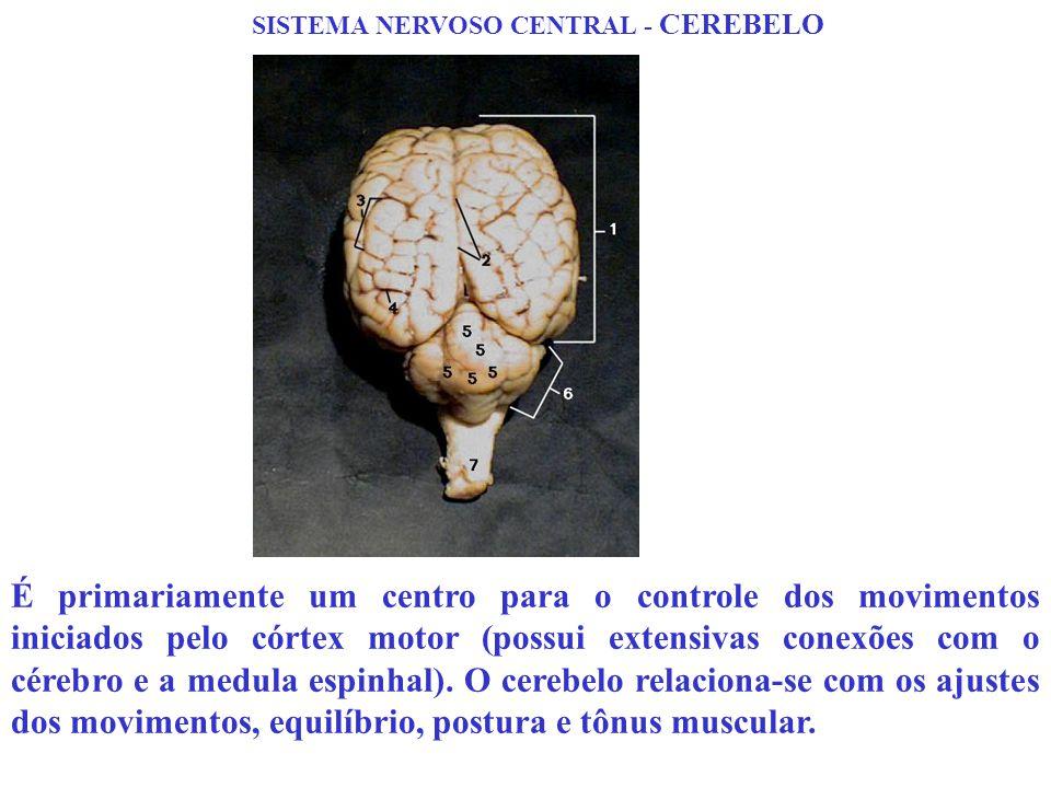 SISTEMA NERVOSO CENTRAL - CEREBELO É primariamente um centro para o controle dos movimentos iniciados pelo córtex motor (possui extensivas conexões co