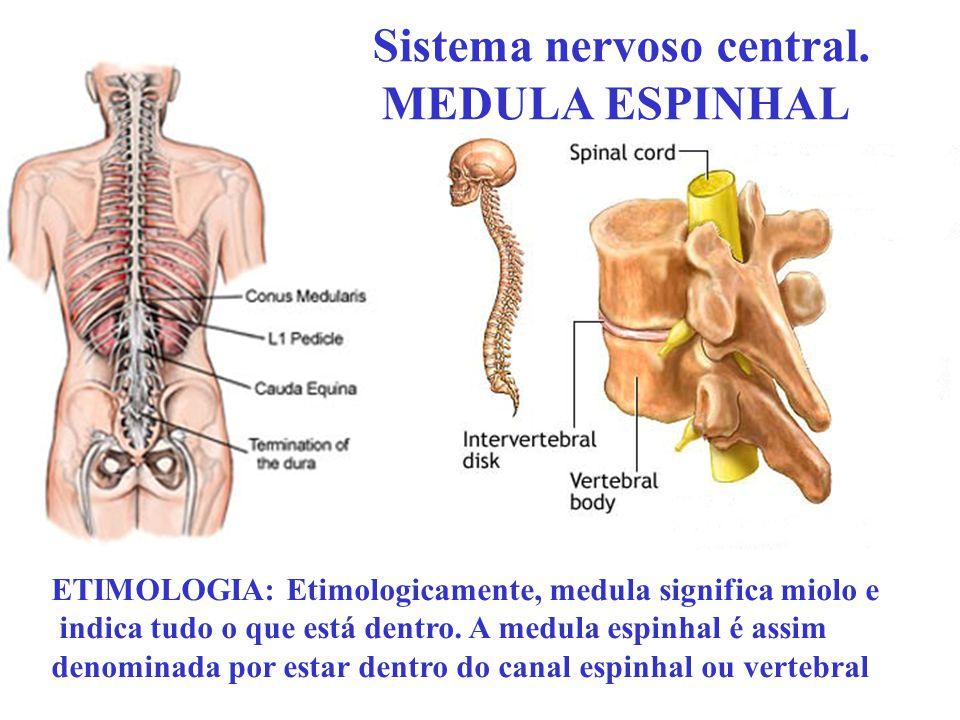 Sistema nervoso central. MEDULA ESPINHAL ETIMOLOGIA: Etimologicamente, medula significa miolo e indica tudo o que está dentro. A medula espinhal é ass