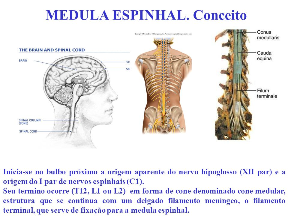MEDULA ESPINHAL. Conceito Inicia-se no bulbo próximo a origem aparente do nervo hipoglosso (XII par) e a origem do I par de nervos espinhais (C1). Seu