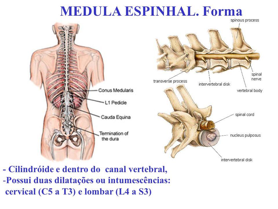 MEDULA ESPINHAL. Forma - Cilindróide e dentro do canal vertebral, -Possui duas dilatações ou intumescências: cervical (C5 a T3) e lombar (L4 a S3)