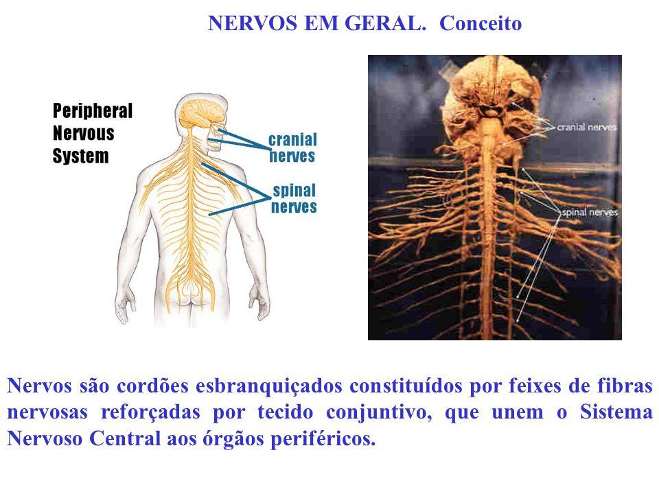 Nervos são cordões esbranquiçados constituídos por feixes de fibras nervosas reforçadas por tecido conjuntivo, que unem o Sistema Nervoso Central aos