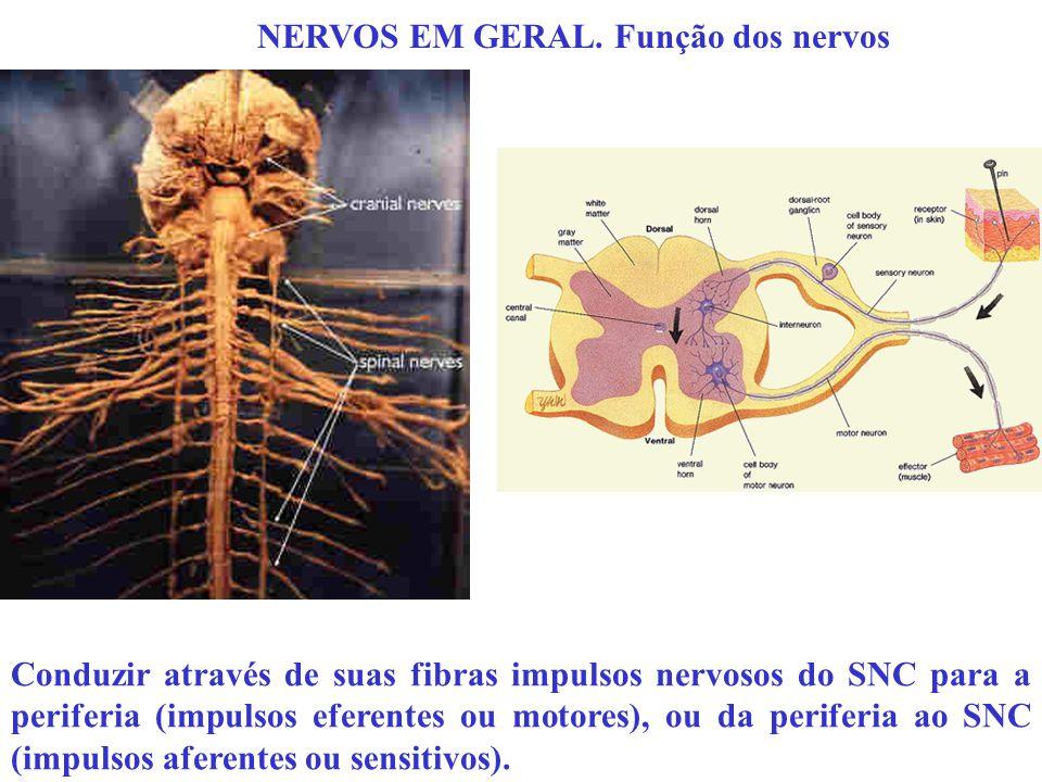 NERVOS EM GERAL. Função dos nervos Conduzir através de suas fibras impulsos nervosos do SNC para a periferia (impulsos eferentes ou motores), ou da pe