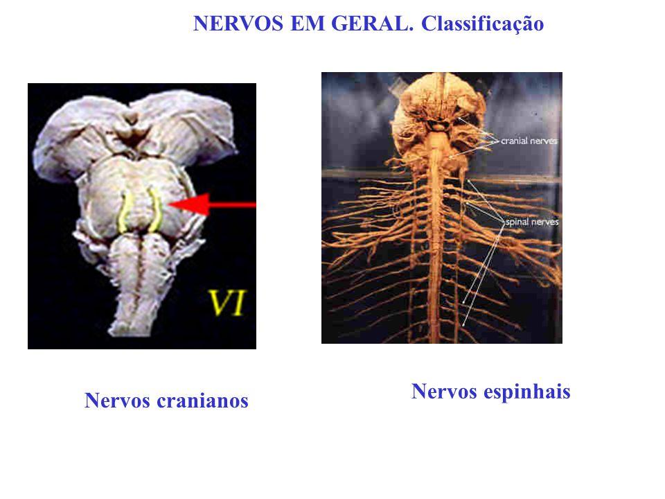 NERVOS EM GERAL. Classificação Nervos cranianos Nervos espinhais