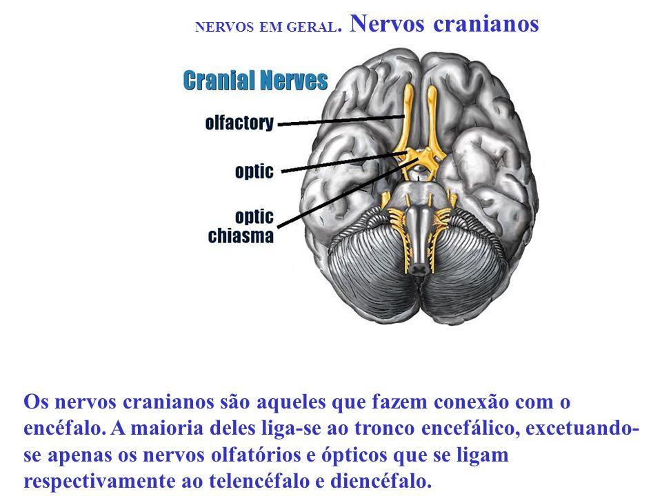 NERVOS EM GERAL. Nervos cranianos Os nervos cranianos são aqueles que fazem conexão com o encéfalo. A maioria deles liga-se ao tronco encefálico, exce