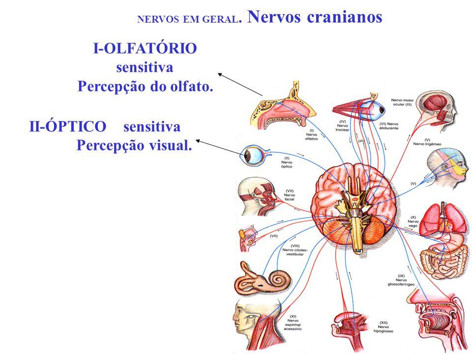 NERVOS EM GERAL. Nervos cranianos I-OLFATÓRIO sensitiva Percepção do olfato. II-ÓPTICOsensitiva Percepção visual.