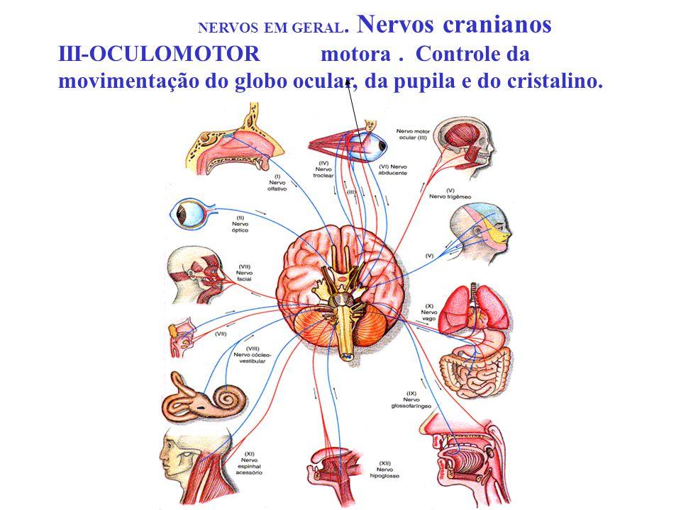 NERVOS EM GERAL. Nervos cranianos III-OCULOMOTORmotora. Controle da movimentação do globo ocular, da pupila e do cristalino.