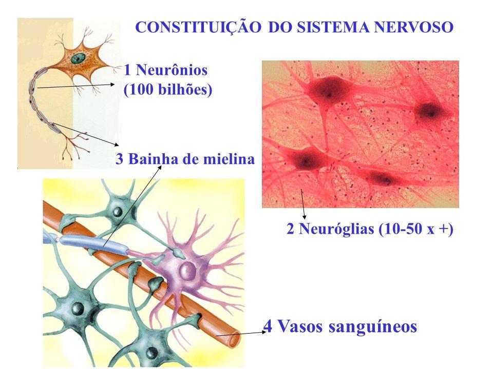 CONSTITUIÇÃO DO SISTEMA NERVOSO 4 Vasos sanguíneos 1 Neurônios (100 bilhões) 2 Neuróglias (10-50 x +) 3 Bainha de mielina