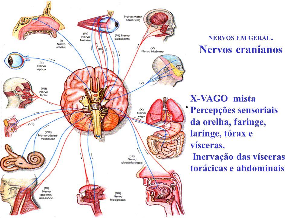 NERVOS EM GERAL. Nervos cranianos X-VAGO mista Percepções sensoriais da orelha, faringe, laringe, tórax e vísceras. Inervação das vísceras torácicas e