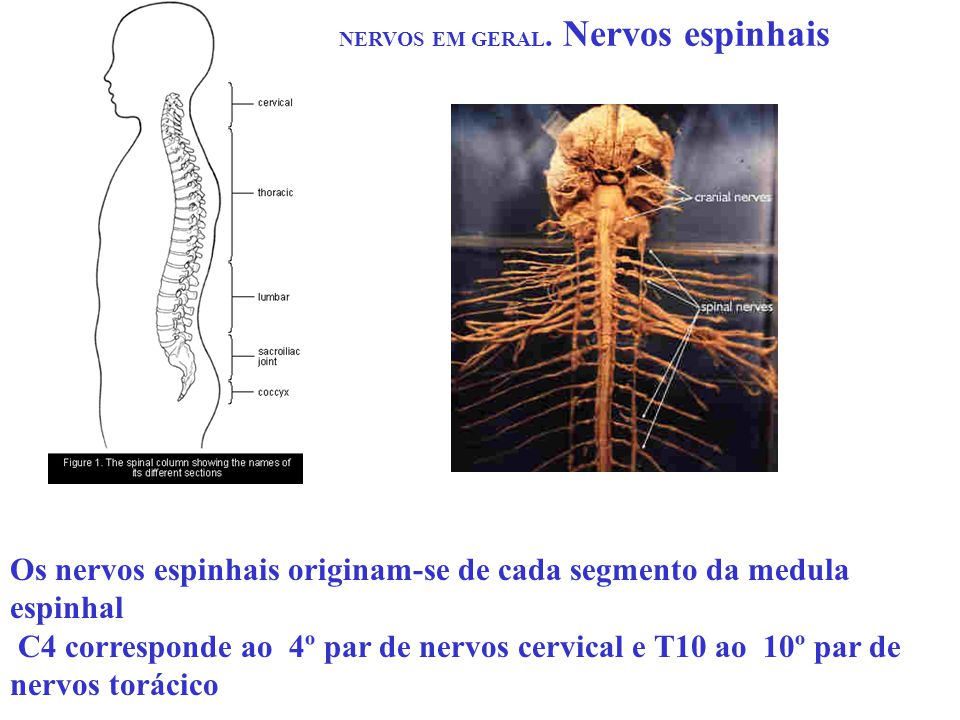 NERVOS EM GERAL. Nervos espinhais Os nervos espinhais originam-se de cada segmento da medula espinhal C4 corresponde ao 4º par de nervos cervical e T1