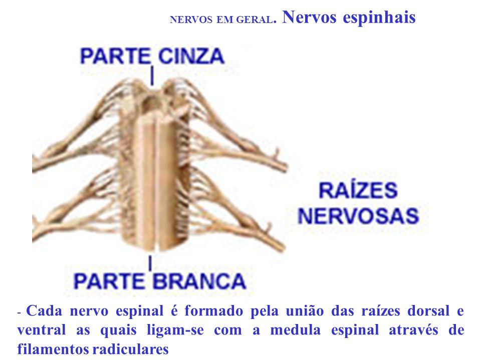 NERVOS EM GERAL. Nervos espinhais - Cada nervo espinal é formado pela união das raízes dorsal e ventral as quais ligam-se com a medula espinal através