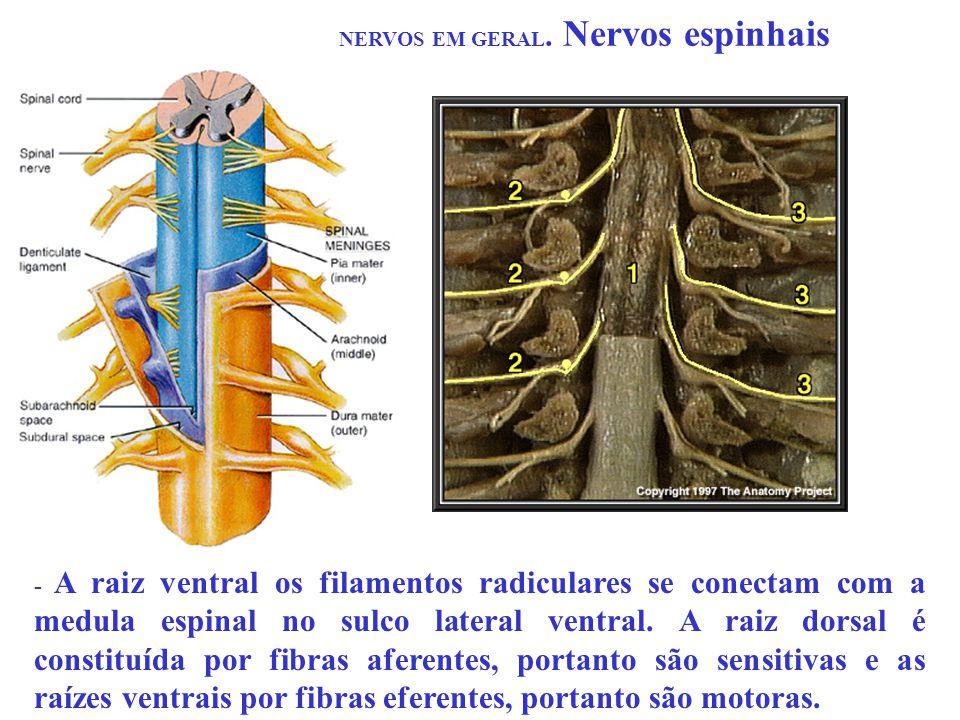 NERVOS EM GERAL. Nervos espinhais - A raiz ventral os filamentos radiculares se conectam com a medula espinal no sulco lateral ventral. A raiz dorsal