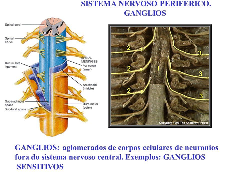 SISTEMA NERVOSO PERIFERICO. GANGLIOS GANGLIOS: aglomerados de corpos celulares de neuronios fora do sistema nervoso central. Exemplos: GANGLIOS SENSIT