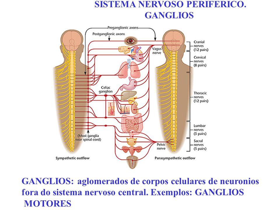 SISTEMA NERVOSO PERIFERICO. GANGLIOS GANGLIOS: aglomerados de corpos celulares de neuronios fora do sistema nervoso central. Exemplos: GANGLIOS MOTORE