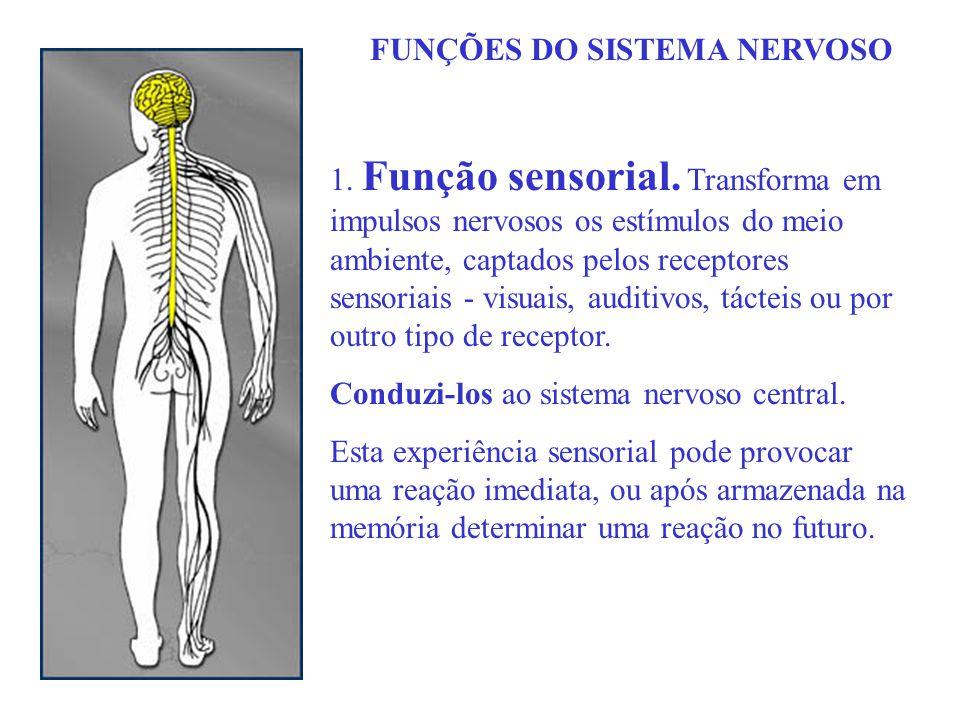 FUNÇÕES DO SISTEMA NERVOSO 1. Função sensorial. Transforma em impulsos nervosos os estímulos do meio ambiente, captados pelos receptores sensoriais -