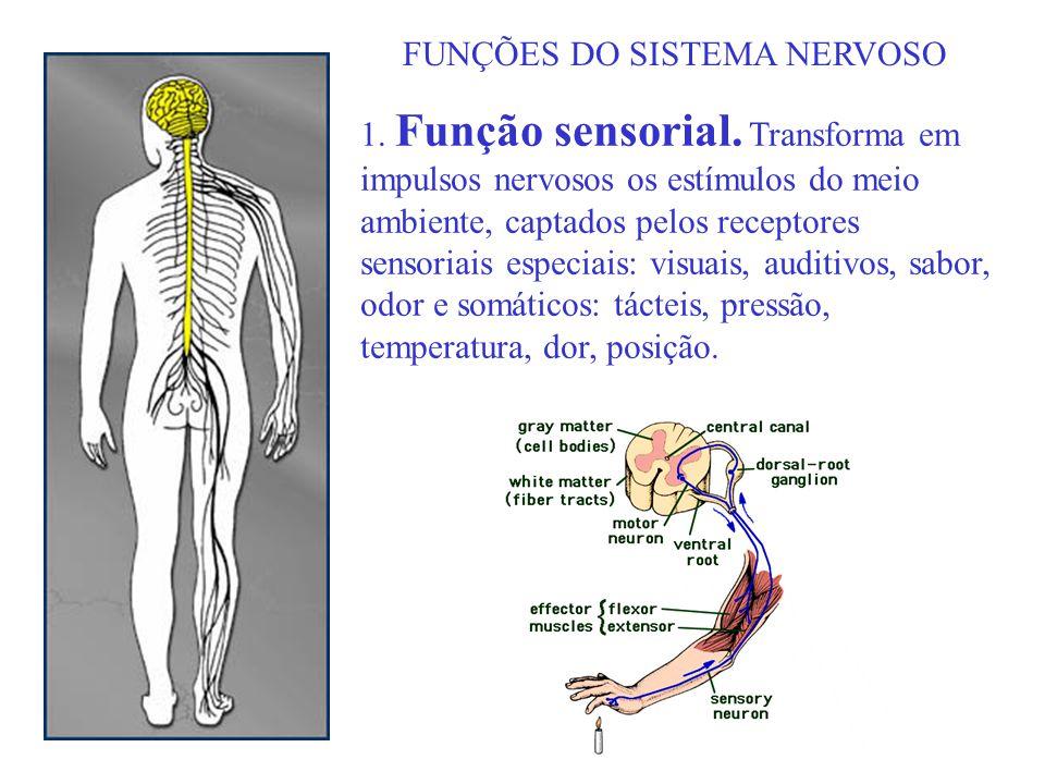 FUNÇÕES DO SISTEMA NERVOSO 1. Função sensorial. Transforma em impulsos nervosos os estímulos do meio ambiente, captados pelos receptores sensoriais es