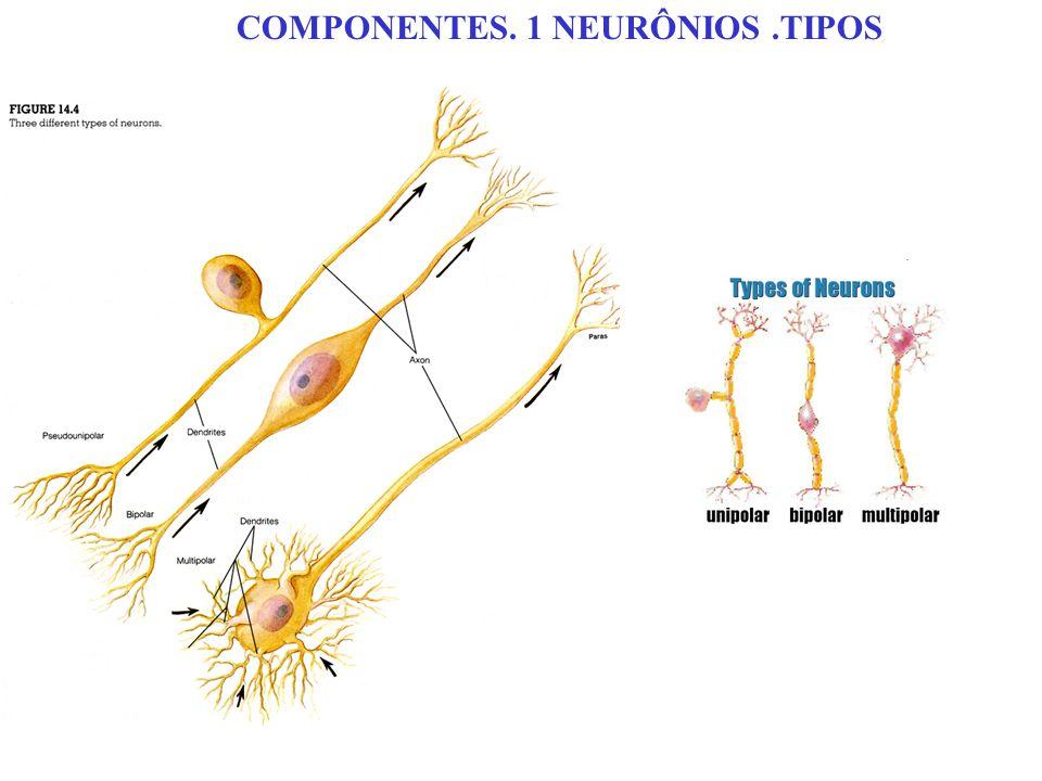 COMPONENTES. 1 NEURÔNIOS.TIPOS