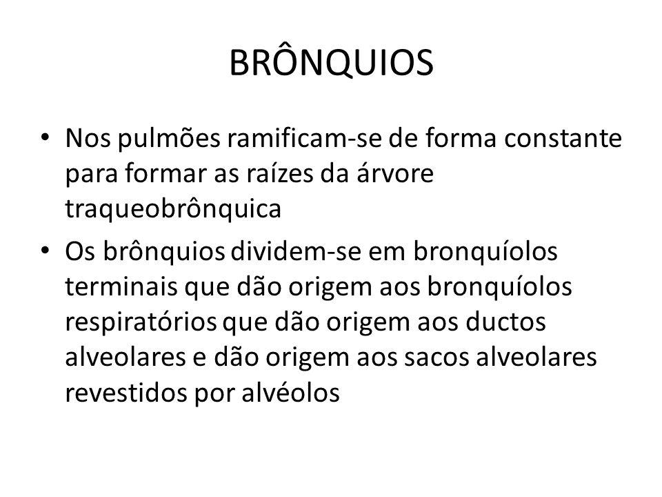 BRÔNQUIOS Nos pulmões ramificam-se de forma constante para formar as raízes da árvore traqueobrônquica Os brônquios dividem-se em bronquíolos terminai