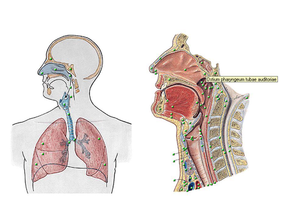 NARIZ Parte do trato respiratório situada acima do palato duro Contém órgão periférico do olfato Inclui o nariz externo e a cavidade nasal D e E dividida pelo septo nasal