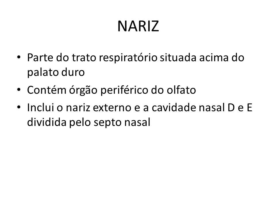 NARIZ Parte do trato respiratório situada acima do palato duro Contém órgão periférico do olfato Inclui o nariz externo e a cavidade nasal D e E divid