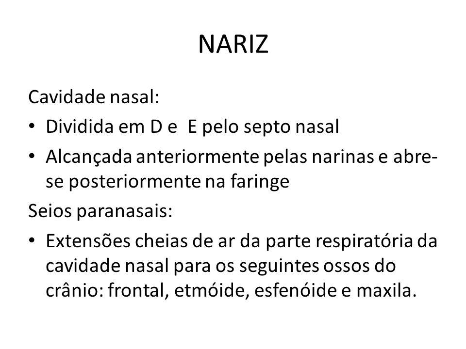 NARIZ Cavidade nasal: Dividida em D e E pelo septo nasal Alcançada anteriormente pelas narinas e abre- se posteriormente na faringe Seios paranasais: